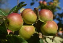Apfel - Gesunde Ernährung