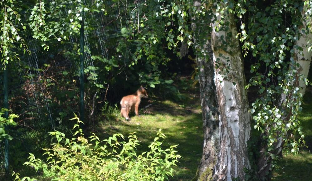 Junger Fuchs im Garten Heidelweg