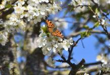 Schmetterling an einer Mirabellenblüte