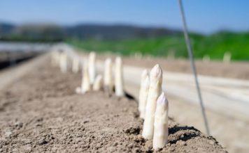 Der warme Winter und hohe Temperaturen in den letzten Wochen lassen den Spargel sprießen.