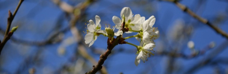 Apfelblüte in Köln Sürth